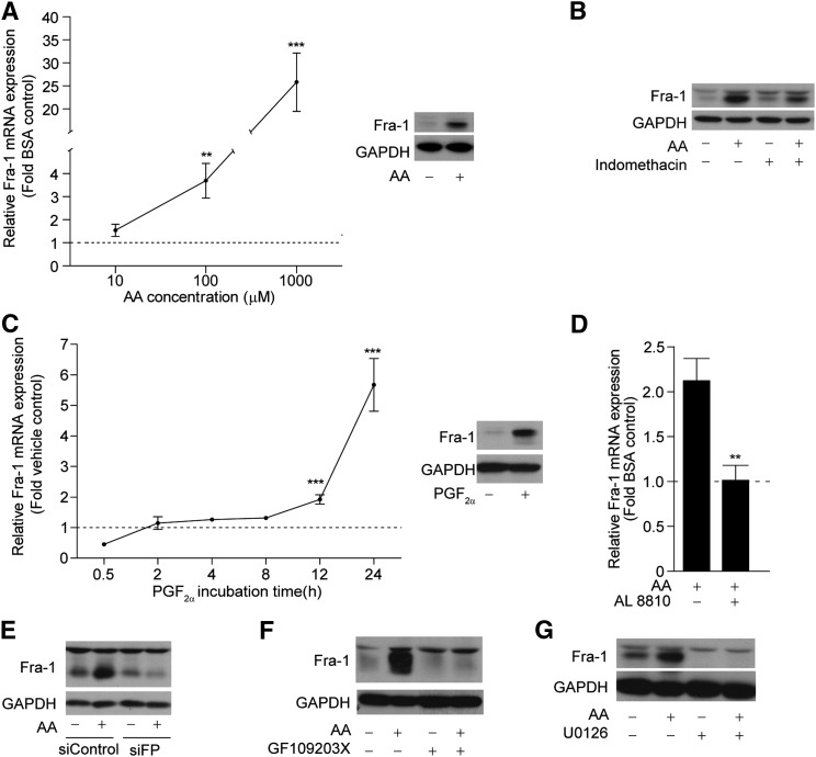 AA induces the expression of Fra-1 after 24 h of treatment in 3T3-L1 cells. A: 3T3-L1 cells (day 0) were treated with increasing doses of AA (10 μM, 100 μM, or 1 mM) for 24 h in the presence of MDI. Total RNA (left panel) or total cell lysates (right panel, 100 μM) were isolated and subjected to RT-PCR or Western blotting, respectively. B: Western blot of Fra-1 in cells pretreated with indomethacin (10 μM) for 30 min prior to AA (100 μM) treatment for 24 h. C: Cells were treated for 24 h with PGF 2α (10 nM) and total RNA (left panel) or whole cell lysates (right panel, 24 h) were harvested at the indicated time points and subjected to RT-PCR or Western blotting, respectively. D: Cells were pretreated with AL 8810 (10 μM) for 30 min prior to AA (100 μM) for 24 h. Total RNA was extracted and subjected to RT-PCR for Fra-1 mRNA transcript. E: 80% confluent 3T3-L1 cells were transfected with siControl or siFP. On the third day after transfection, cells were treated with 100 μM AA for 24 h in the presence of MDI. Western blot was performed with antibodies against Fra-1 and GAPDH. F, G: Cells were pretreated with GF109203X (10 μM) or U0126 (10 μM) for 30 min prior to AA (100 μM) stimulation for 24 h. Western blot was performed using antibodies against Fra-1 and GAPDH. Fra-1 mRNA levels are presented as fold change of the vehicle control from n = 3. Error bars represent ±SEM. ** P
