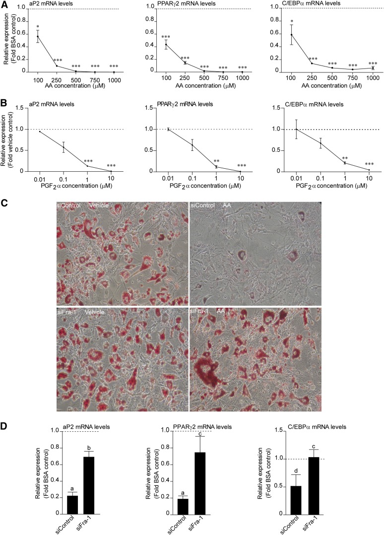 Fra-1 mediates the inhibition of adipocyte differentiation by AA. A: 3T3-L1 cells were treated with increasing doses of AA for 24 h in the presence of MDI. After the 24 h, AA was withdrawn and total RNA was isolated on day 10 of the differentiation and subjected to RT-PCR for aP2, PPARγ2, and C/EBPα. Data are presented as mean ± SEM based on triplicate determinations. * P