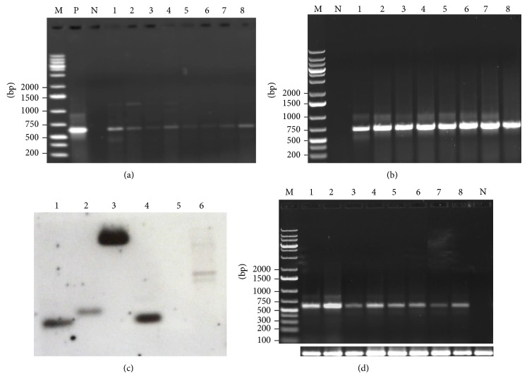 Molecular characterization of mtlD peanut transformants. (a) PCR amplification using mtlD gene-specific primers (expected size 600 bp); (b) PCR amplification of transformants using npt II gene specific primers (expected size 750 bp), where lane N: negative control; lane P: positive control (pCAMBIA1380 plasmid DNA); and lanes 1–8: transgenic lines (MTD1 to MTD8); (c) Southern blot analysis of transgenic (T 0 ) and nontransformed peanut lines. Where lanes 1–4: DNA from transgenic lines, lane 5: DNA from nontransformed line (cv. GG 20, −ve control), and lane 6: plasmid DNA (+ve control); (d) detection of mtlD gene transcription in transgenic plants using RT-PCR. Lane N = nontransformed line; lanes 1–8 = transgenic lines (MTD1 to MTD8), bottom row: 18SrRNA as internal control.