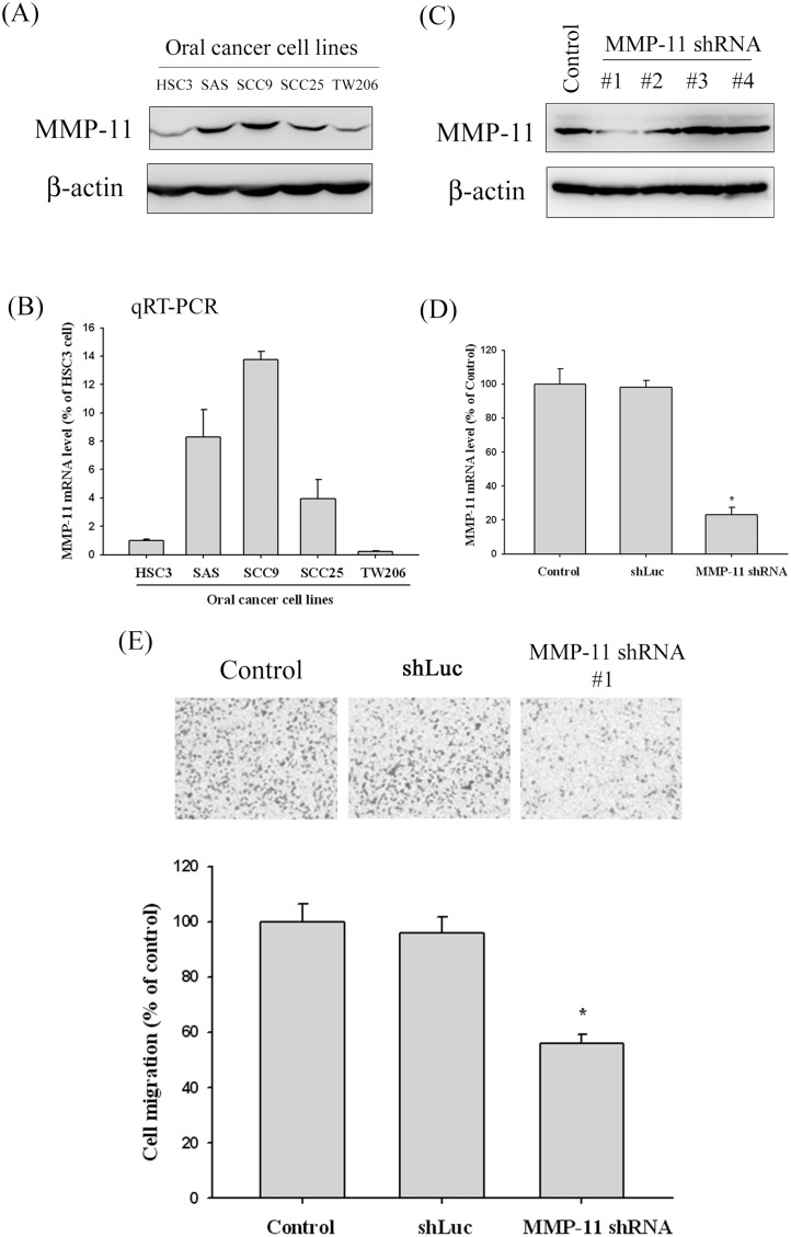 MMP-11 expression in oral cancer cell lines and the MMP-11 knockdown in SCC9 cells reduce cell migration. (A) Western blot analysis showing the expression of MMP-11 protein in five oral cancer cell lines. (B) MMP-11 mRNA levels in five oral cancer cell lines were determined by quantitative real-time PCR using β-actin as an endogenous control. Results are shown as mean ± SD of three independent experiments. (C) Endogenous MMP-11 expression is silenced by infection with 4 different shRNA constructs (#1 and #2, #3 and #4) for MMP-11 in SCC9 oral cancer cells. Knockdown efficiency was analyzed by Western blotting. Results showed an approximately 80% reduction of #1 shRNA of MMP-11. *p