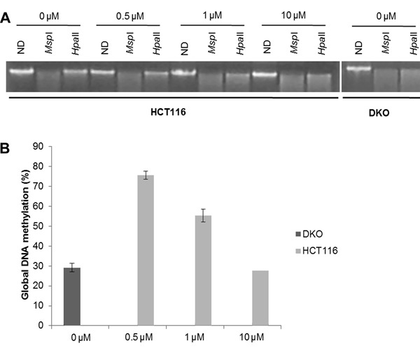 Global DNA methylation analysis. A , One percent agarose gel staining with ethidium bromide showing non-digested DNA (ND) and DNA digested with Msp I or Hpa II, which is an isoschizomer of Msp I methylation sensitive enzyme, at different media concentrations of 5-aza-2′-deoxycytidine (5-aza-CdR; 0, 0.5, 1.0, and 10 µM). B , Percentage of DNA methylation of each 5-aza-CdR treatment condition and DKO cells in relation to basal methylation of the HCT116 cell line (data from 2 different assays).