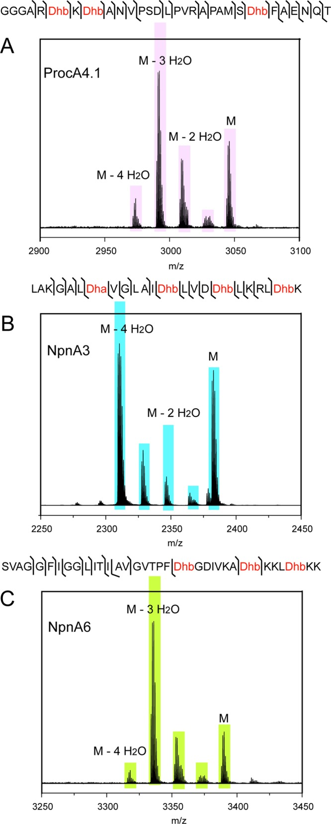 Coexpression studies of Cys-lacking peptides with LanMs. (A) MALDI-ToF MS analysis of ProcA4.1 that was obtained by coexpression with ProcM. Also shown is the sequence of the ProcA4.1 core (obtained by TEV cleavage of a ProcA4.1 mutant containing an engineered TEV cleavage site just before the predicted core sequence) and the MS/MS fragmentation pattern for the 3-fold dehydrated species. (B) MALDI-ToF MS analysis of NpnA3 that was obtained by coexpression with NpnM in E. coli . Also shown is the sequence of endoproteinase Glu-C cleaved NpnA3 and the MS/MS fragmentation pattern for the 4-fold dehydrated species. (C) MALDI-ToF MS analysis of NpnA6 obtained similarly to that for NpnA3 in panel B. Also presented is the sequence and MS/MS fragmentation pattern for 3-fold dehydrated NpnA6. The MS/MS data for 3-fold dehydrated ProcA4.1, 4-fold dehydrated NpnA3, and 3-fold dehydrated NpnA6 are shown in Supporting Information Figures 24–26 , respectively.