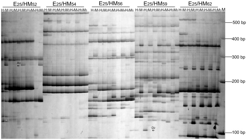 MSAP gels electrophoresis of PaWB seedlings with MMS treatment. H 1 and M 1 : bands digested by Eco RI/ <t>Hpa</t> II (H) and Eco RI/ <t>Msp</t> I (M) in PS; H 2 and M 2 : bands digested by H and M in PS-20; H 3 and M 3 : bands digested by H and M in PS-60; H 4 and M 4 : bands digested by H and M in PS-100; H 5 and M 5 : bands digested by H and M in HS; E 25 /HM 52 – E 25 /HM x : primer combination; M: Marker; The arrows only indicated part of the methylation patterns between PS and PS-20 (H 1 , M 1 , H 2 , M 2 ).