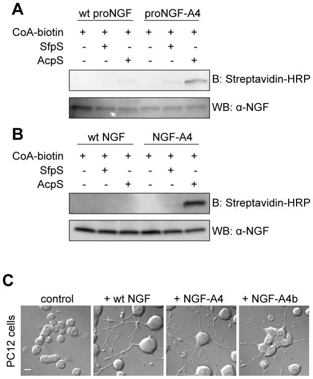 Site-specific biotinylation of proNGF and NGF. A–B ) Western blot for the analysis of the in vitro biotinylation reaction of purified NGF-A4 ( A ) and proNGF-A4 ( B ) using CoA-biotin substrate and AcpS or SfpS PPTases. The same biotinylation reaction is performed in parallel using untagged wt NGF and wt proNGF as negative controls. Streptavidin-HRP is used for detection of biotin. The anti-NGF blot is the loading control. C ) Typical DIC images obtained when performing the differentiation assay in PC12 cells using ∼50 ng/ml of wt NGF, NGF-A4 and biotinylated NGF-A4 (NGF-A4b). Untreated cells are the control. Scale bar: 20 µm.