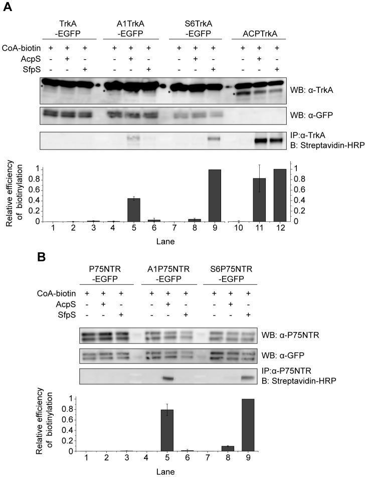 Site-specific biotinylation of TrkA and P75NTR receptors. Western blot for the analysis of the biotinylation reaction in living cells of A1/S6-TrkA-EGFP ( A ) and A1/S6-P75NTR-EGFP constructs ( B ) using CoA-biotin substrate and AcpS or SfpS PPTases. The same biotinylation reaction is performed in parallel using untagged TrkA-EGFP ( A ) and P75NTR-EGFP ( B ) as negative controls, and ACP-TrkA ( A ) as positive control. Streptavidin-HRP is used for detection of biotin. Anti-TrkA ( A ) and anti-P75NTR ( B ) blots are loading controls together with anti-GFP (both panels). The anti-TrkA blot contains an unspecific band running over TrkA, as already shown [4] ; the actual TrkA band in each lane is highlighted by a star. At the bottom of each panel the densitometric analysis of the blot bands is reported. The biotin signal was normalized to the content of GFP (for TrkA-EGFP, A1-TrkA-EGFP, S6-TrkA-EGFP lanes), TrkA (for ACP-TrkA lanes), and P75NTR (for P75NTR-EGFP, A1-P75NTR-EGFP, S6-P75NTR-EGFP lanes), with the higher value normalized to 1. Results reported are mean±sem from 3 (panel A) and 2 (panel B) independent blots.
