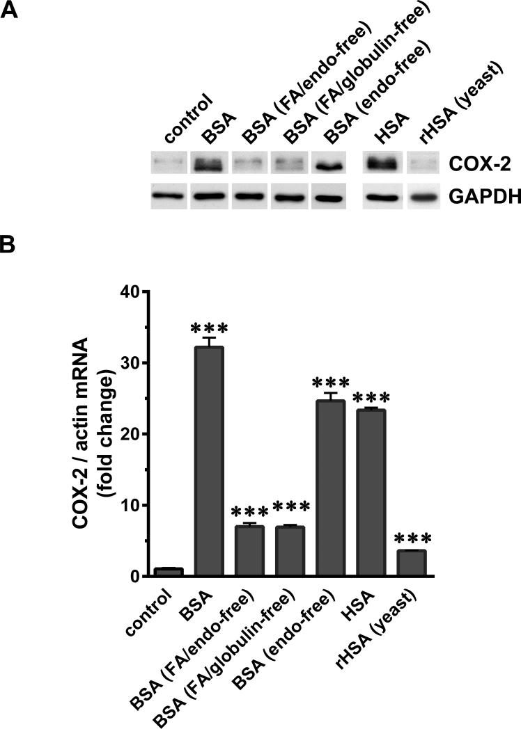 SA-associated factors contribute to COX-2 induction in podocytes. Serum-starved podocytes were exposed to 40 mg/ml of BSA, charcoal-treated FA/endotoxin-free BSA, FA/globulin-free BSA, endotoxin-free BSA, HSA and recombinant HSA made in yeast (rHSA). (A) Cells were harvested after 4 h, processed for SDS-PAGE and western blotting and analyzed for COX-2 and GAPDH. (B) Total RNA was extracted and COX-2 mRNA was measured by RT-PCR and normalized to the β-actin mRNA (***P