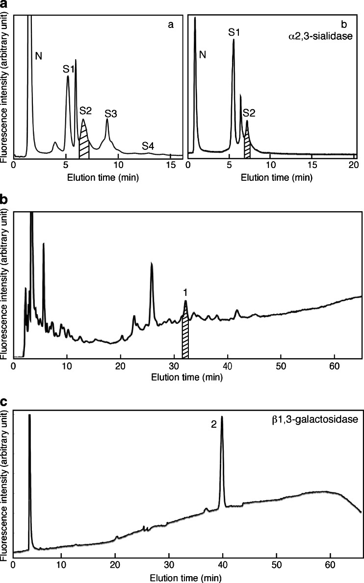 Isolation of di-sialylated A2G'2F a separation by Mono Q HPLC of N-glycans from 12w mouse brains. N, S1-S4 indicate the elution positions of neutral, monosialo, disialo, trisialo and tetrasialo PA-N-glycans, respectively. ( a ) N-glycans derived from 12w cerebral cortex were applied again to Mono Q HPLC and the S2 fraction ( indicated by oblique lines ) was collected. ( b ) After sialylated N-glycans from the S2 fraction in Fig. 5a- a were treated with α2,3-sialidase, the sample was applied again to Mono Q HPLC. The S2 fraction ( indicated by oblique lines ) was collected b the α2,3-sialidase-resistant S2 fraction in Fig. 5a- b was applied to an ODS column. There were some major peaks, and the peak 1 was identified as sialylated A2G'2F. The fraction indicated by oblique lines was collected. c N-glycans from the peak 1 in Fig. 5b were treated with β1,3-galactosidase and applied again to an ODS column. The peak 2 was collected for further analysis. Results are representative of more than three independent experiments