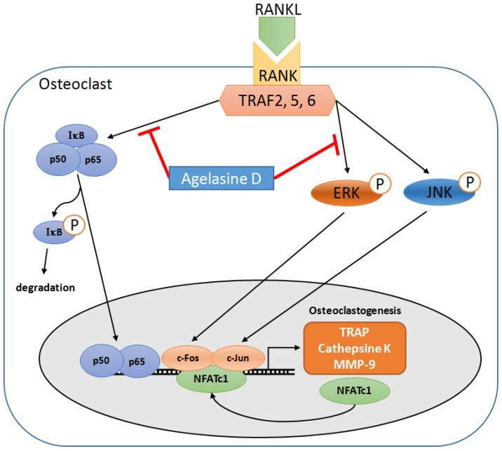 Schematic diagram of signaling pathways important for RANKL-induced osteoclastogenesis. The inhibitory effect of AD is mediated by blocking the activation of NF-κB and ERK signaling pathways and concomittant down-regulation of c-Fos and NFATc1.