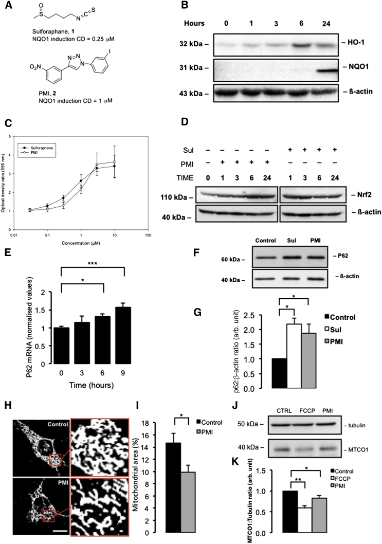 PMI Stabilizes Nrf2 and Upregulates P62 Expression Activating Mitophagy (A) Structures of compounds 1 (sulforaphane) and 2 (PMI); CD is the concentration of compound causing a doubling of the control level of NQO1 enzymatic activity. (B) Western blot to show induction of Nrf2-dependent gene products versus time in Hepa1c1c7 cells (cytoplasmic) exposed to 10 μM PMI. (C) Induction of NQO1 (NAD(P)H dependent quinone oxidoreductase-1) by compounds 1 (○) and 2 (●). (D) Western blots to demonstrate Nrf2 stabilization in cells treated with either PMI (10 μM) or, sulforaphane (1 μM) versus time (E) RT-PCR analysis for estimation of p62 mRNA levels in MEFs following treatment with PMI versus time. Values are presented as arbitrary units normalized to 18 s RNA levels for each sample, n ≥ 3. (F) Western blot to demonstrate P62 expression in MEF cells treated with DMSO vehicle control, 10 μM PMI, or 1 μM sulforaphane for 24 hr. Β-actin is shown as a loading control. (G) Graph shows P62:β-actin ratio band density analysis, n = 3. (H) Representative confocal images of β-subunit staining to highlight mitochondrial density in MEF cells treated with DMSO vehicle control or 10 μM PMI for 24 hr. (I) Graph shows average mitochondrial area as a percentage of cell size, n ≥ 50. (J) Western blot to demonstrate reduction in MTCO1 levels following 4 hr FCCP or 24 hr PMI exposure. (K) Graph shows MTCO1:Tubulin ratio band density analysis normalized to control, n = 3. All values are mean ± SEM, ∗ p