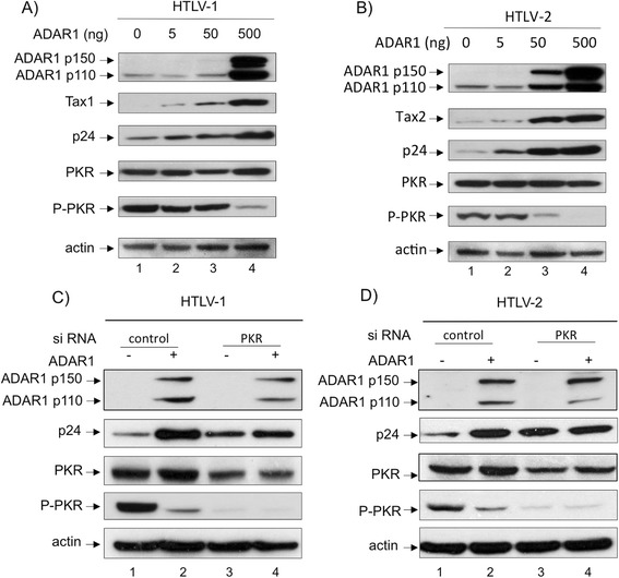ADAR1 proviral effect is mediated through inhibition of <t>PKR</t> activation. 293-T cells were transfected with 4 μg of (A) pACH or (B) pH6neo molecular clones and increasing amount (0, 5, 50, 500 ng) of ADAR1 plasmid. Western blot analyses were performed on 60 μg of proteins obtained from whole cell extracts using anti-ADAR1, anti-p24 gag , anti-Tax1, anti-Tax2, anti-PKR, anti-phospho-PKR and anti-actin antibodies. (C, D) : 293-T cells were transfected with <t>siRNA</t> directed against PKR (20nM) or with control siRNA. Twelve hours later cells were transfected with 20nM of the same siRNA together with 1.2 μg of (C) pACH, (D) pH6neo and 125 ng of an ADAR1 expression plasmid. Western blot analyses were performed on 60 μg of proteins obtained from whole cell extracts using anti-ADAR1, anti-p24 gag , anti-PKR, anti-phospho-PKR and anti-actin antibodies.