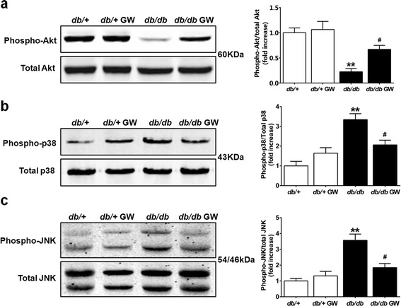 GW3965 differentially regulated Akt and MAP kinases activation. a - c . Western blot analysis shows the phosphorylation and protein expression of Akt, p38 MAPK and JNK expression in the myocardial tissues (n =5-6). ** P