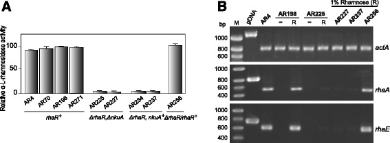 Extracellular α-L-rhamnosidase activity and α-L-rhamnosidase gene expression in rhaR + and ∆ rhaR strains. (A) Bar diagram of the relative α-L-rhamnosidase activities secreted by rhaR + (AR4, AR70, AR198, AR271 and AR256) and ∆ rhaR (AR225, AR227, AR237 and AR234) strains after 48 h grown in 1% w/v L-rhamnose. Activities are presented as percentages of those observed in AR198, and values are presented as the mean of at least three independent experiments and their standard deviation. (B) RT-PCR analyses for rhaA and rhaE in rhaR + and ∆ rhaR strains under inducing conditions using RNAs isolated from mycelia obtained after 4 h transfer to 1% w/v L-rhamnose. The actin actA gene (AN6542) was used as a constitutive control for normalization. RNA quality and amount was also verified by ethidium bromide staining of rRNAs (not shown).