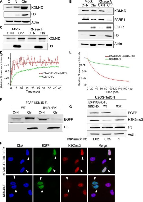 RNA interactions with KDM4D N-terminal region are critical for KDM4D association with chromatin and for the demethylation of H3K9me3 mark. (A) KDM4D is enriched at the chromatin-bound fraction. U2OS cells were subjected to biochemical fractionation as previously described ( 22 ). Samples from the different fractions were resolved and immunoblotted using the indicated antibodies. (B) RNase A treatment disrupts the KDM4D localization at the NP-40-resistant fraction. Mock and RNase A-treated cells were subjected to biochemical fractionation using NP-40 lysis buffer and protein samples were resolved and immunoblotted using the indicated antibodies. (C) The chromatin localization of KDM4D is not affected by RNase H treatment. U2OS cells were treated with Mock or RNase H and subjected to biochemical fractionation as described in (B). (D and E) FRAP and FLIP analyses show that the 1H4R-HRK mutations lead to a remarkable increase in the mobility of KDM4D in cells. U2OS cells were transfected with constructs encoding EGFP-KDM4D-WT or EGFP-KDM4D-1H4R-HRK and subjected to FRAP (D) or FLIP (E) assay. In (D) the plot shows the relative fluorescence intensity over time at the bleached area, normalized to the pre-bleached levels. In (E) the cells were subjected to continuous bleaching in a particular area and the relative fluorescence at a nearby region was plotted against time. The FRAP and the FLIP results are the averages for 12 different cells and similar results were obtained in two different experiments. (F) Biochemical fractionation shows that, unlike EGFP-KDM4D-WT, EGFP-KDM4D-FL-1H4R-HRK lost its association with chromatin. (G) Shows that overexpression of EGFP-KDM4D-FL-1H4R-HRK has no detectable effect on the overall levels of H3K9me3. U2OS-TetON cells were treated with doxycycline for 24 h to induce the expression of EGFP-KDM4D-FL or EGFP-KDM4D-FL-1H4R-HRK, and protein extracts were prepared using hot-lysis procedure and subjected for western blotting using the indicated