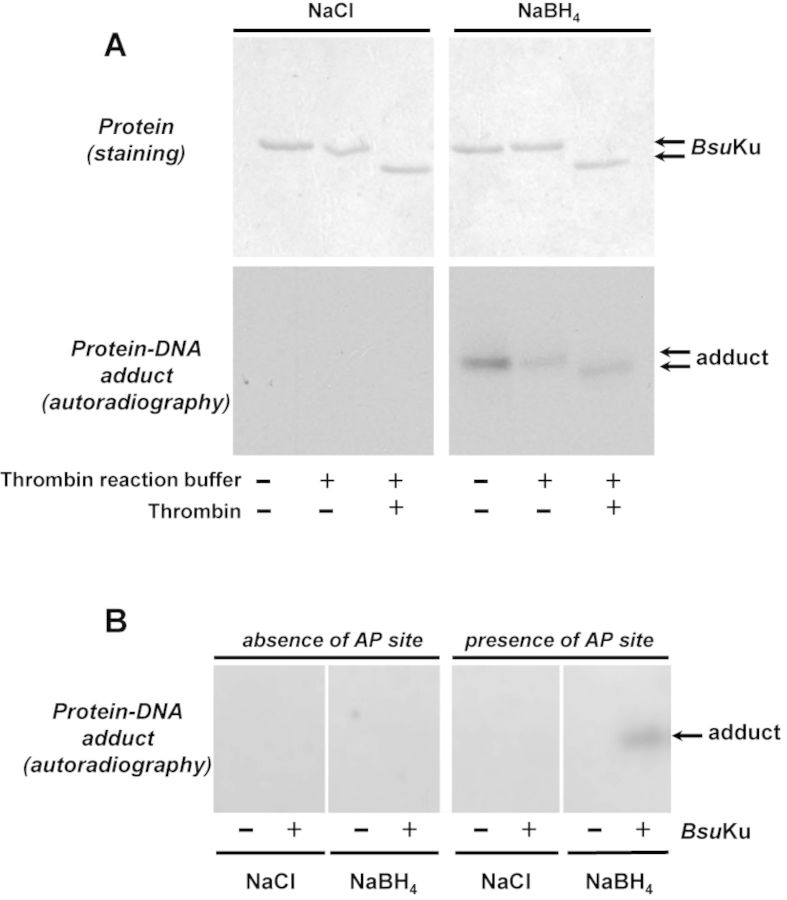 Formation of Bsu Ku-DNA adducts. ( A ) Dependence of Bsu Ku-DNA cross-link on NaBH 4 . Reactions were performed as described in Materials and Methods, incubating 228 nM Bsu Ku with 3.1 nM of the 3′[ 32 P]3′-dAMP labeled 35mer oligonucleotide containing an AP site at position 16 (after treatment with Escherichia coli UDG), in the presence of either 100 mM NaBH 4 or NaCl (as indicated). Top panels , Coomassie blue staining after SDS-PAGE of purified Bsu Ku. Bottom panels , autoradiography of corresponding protein–DNA adducts after the SDS-PAGE separation shown in top panels. When indicated, protein was previously incubated with 0.05 U of thrombin at 20°C for 60 min. ( B ) Adduct formation is dependent on the presence of an abasic site. Reactions were performed as described in (A) but using as substrate 3.1 nM of the 3′[ 32 P]3′-dAMP labeled 35mer oligonucleotide without removing the uracil at position 16 (absence of AP site) or after treatment with E. coli UDG (presence of AP site), in the presence of either 100 mM NaBH 4 or NaCl (as indicated). Autoradiography of corresponding protein–DNA adduct after the SDS-PAGE separation is shown.