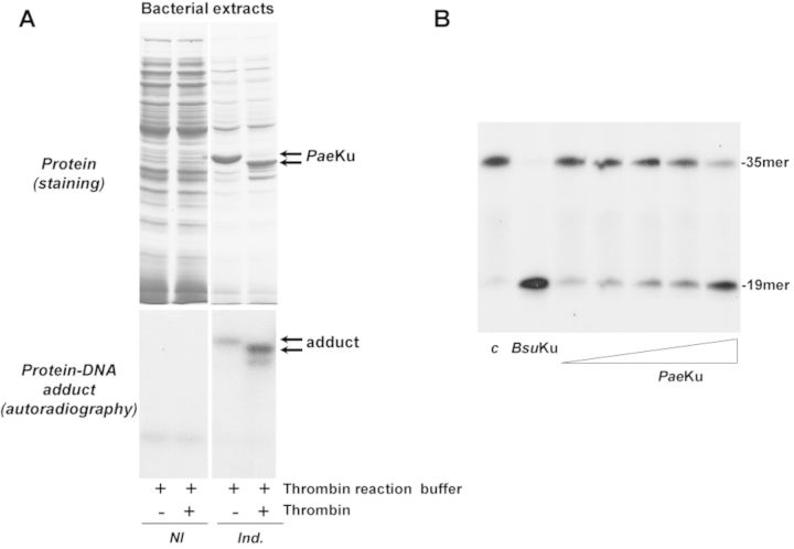 AP-lyase activity is also present in the Ku protein from the Gram- bacteria P. aeruginosa . ( A ) Formation of Pae Ku–DNA adducts. Top panels , expression of the recombinant Pae Ku. For a better visualization of the induced Pae Ku, 15 and 6 μg of total protein from the cellular extracts were loaded in the noninduced (NI) and in the induced (Ind.) lanes, respectively. Bottom panels , autoradiography of corresponding protein–DNA adducts after the SDS-PAGE separation. Reactions were performed as described in Materials and Methods, incubating either 1.7 μg of the noninduced bacterial extract or 0.7 μg of the induced extract with 3.1 nM of the 3′[ 32 P]3′-dAMP labeled 35mer oligonucleotide containing an AP site at position 16 (after treatment with Escherichia coli UDG), in the presence of 100 mM NaBH 4 . When indicated, the bacterial extracts were previously incubated with 0.05 U of thrombin at 20°C for 60 min. ( B ) AP-lyase activity of purified Pae Ku. 3.1 nM of the 3′[ 32 P]3′-dAMP labeled 35mer oligonucleotide containing an AP site at position 16 (after treatment with E. coli UDG) was incubated in the presence of either Bsu Ku (228 nM), or increasing concentrations (14, 28, 57, 114 and 228 nM) of Pae Ku for 1 h at 30°C, as described in Materials and Methods. c : control DNA after treatment with E. coli UDG. After incubation, samples were analysed by 8 M urea-20% PAGE and autoradiography. Position of products is indicated.