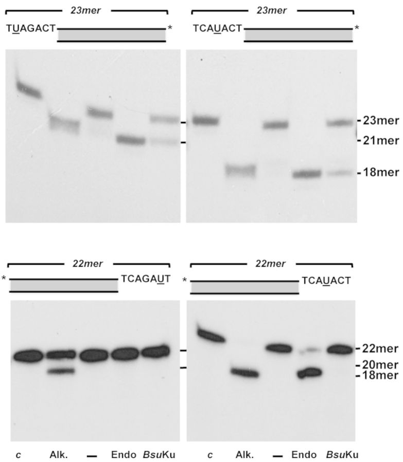 Bsu Ku AP-lyase on protruding ends. The assay was performed as described in Materials and Methods. The substrates containing a uracil at the specified position within the 5′- (upper panels) or 3′- (lower panels) protruding ends were incubated with Escherichia coli UDG ( c ) to create an AP site in nearly all DNA molecules. After incubation of the AP-containing molecules with 2 units of E. coli Endo III (Endo), or 142 nM Bsu Ku for 30 min at 30°C, samples were analysed by 8 M urea-20% PAGE and autoradiography, as described in Materials and Methods. Positions corresponding to the products are indicated. Asterisks indicate either the 32 P-5′ or the [ 32 P]3′dAMP-3′end.