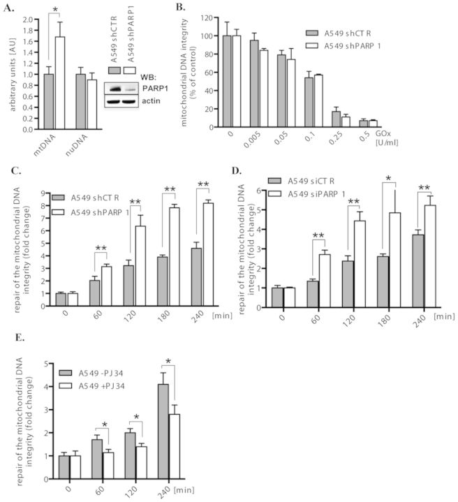 Effect of PARP1 depletion and PARP1 inhibition on the integrity and repair of the mitochondrial DNA. ( A ) Integrity of the mitochondrial and nuclear DNA in baseline conditions of A549 shCTR and A549 shPARP1 cells was determined by LA-PCR. The protein level of PARP1 was analyzed by western blot and is shown in the inset. ( B ) Sensitivity of the mitochondrial DNA to increasing levels of oxidative stress, generated by increasing concentrations of glucose oxidase (GOx) measured by LA-PCR after 1 h of GOx treatment. ( C ) Repair of the mitochondrial DNA integrity in a control (shCTR) and PARP1-depleted (shPARP1) A549 cells. ( D ) Repair of the mitochondrial DNA integrity in parental A549 cells transiently transfected with scrambled (siCTR) or PARP1-specific (siPARP1) siRNA. ( E ) Repair of the mitochondrial DNA integrity in A549 cells preincubated with the PARP inhibitor PJ34 (10 μM) for 30 min. The graphs represent means±SD calculated based on at least two independent experiments run in triplicates (* P