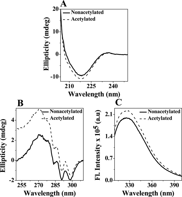 Acetylation perturbed only the tertiary structure of γD-crystallin. (A) Far-UV CD spectra of nonacetylated and acetylated human γD-crystallin. (B) Near-UV CD spectra of nonacetylated and acetylated human γD-crystallin. The concentrations of the protein samples used in far- and near-UV CD were 0.2 and 1.0 mg/mL, respectively. (C) Intrinsic tryptophan fluorescence spectra of nonacetylated and acetylated human γD-crystallin (0.025 mg/mL) were recorded from 310 to 400 nm. The excitation wavelength was 295 nm. Excitation and emission slit widths were 5 nm each. The data were collected at a 0.5 nm wavelength resolution. All assays were performed in 10 mM phosphate buffer containing 1 mM EDTA and 5 mM DTT (pH 7.0) at 25 °C.