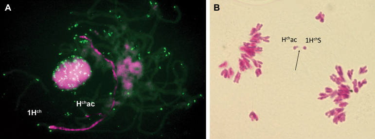 Meiotic pairing analysis of the acrocentric chromosome with 1H ch and 1H ch S chromosomes. (A) In situ hybridization to a pachytene cell of the double monosomic H ch ac-1H ch line. Double FISH signals were observed using H. chilense genomic DNA detected with streptavidin–Cy3 (magenta) and a telomere repeat sequence probe detected with FITC (green). The acrocentric chromosome H ch ac is perfectly paired with the 1H ch chromosome except for one of its distal parts. (B) Meiotic anaphase I of a plant double monosomic for H ch ac and 1H ch S stained with carmine. Tension is observed (indicated by an arrow) between the short arm of the acrocentic chromosome and the 1H ch S as a result of their pairing.