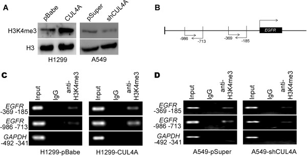 CUL4A transcriptionally activates EGFR expression in NSCLC tissues. (A) Western blot analysis of H3K4me3 levels in H1299-pBabe, H1299-CUL4A, A549-pSuper, and A549-shCUL4A cells. (B) Schematic presentation of two regions relative to the EGFR transcriptional start site used as primers to test H3K4me3 occupied abundance. (C) ChIP-PCR was performed to assess H3K4me3 occupancy in EGFR promoter in H1299-pBabe and H1299-CUL4A cells. (D) ChIP-PCR was performed to assess H3K4me3 occupancy in EGFR promoter in A549-pSuper and A549-shCUL4A cells. IgG was used as negative control.