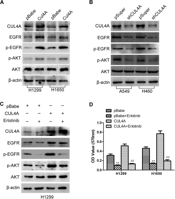 CUL4A activates the EGFR-mediated signaling pathways. (A) Levels of CUL4A, EGFR, p-EGFR, p-AKT, and AKT were analyzed by Western blot in H1299-pBabe, H1299-CUL4A, H1650-pBabe and H1650-CUL4A cells. (B) Levels of CUL4A, EGFR, p-EGFR, p-AKT, and AKT were analyzed by Western blot in A549-pSuper, A549-shCUL4A, H460-pSuper and H460-shCUL4A cells. (C) Western blot to analyze the effect of erlotinib on the levels of CUL4A, EGFR, p-EGFR, p-AKT, and AKT in H1299-pBabe and H1299-CUL4A cells. (D) MTT analysis of the inhibition of erlotinib on cell proliferation in CUL4A overexprssion cells (H1299-CUL4A and H1650-CUL4A). ** P