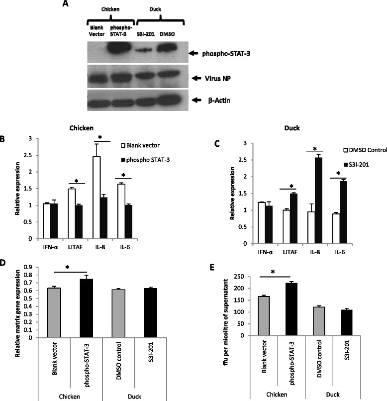 STAT-3 appears to regulate the pro-inflammatory response and promote virus replication in H5N1 virus infected chicken and duck cells. (A) Primary chicken embryo cells over-expressing phospho-STAT-3 showed a high phospho-STAT-3 expression while STAT-3 inhibitor S3I-201 treatment resulted in reduced phospho-STAT-3 protein expression in duck cells at 24 h following H5N1-tyEng91 virus infection (1.0 MOI). (B) phospho-STAT-3 over-expressing chicken cells showed a significant reduction in LITAF , IL6 and IL-8 mRNA expression with no significant change in IFN-α expression. (C) At 24 h following H5N1-tyEng91 virus infection, in STAT-3 inhibited duck primary embryo cells, significant increase of LITAF, IL-8 and IL-6 mRNA expression was detected with no significant change in IFN-α expression. Phospho STAT-3 over-expression in chicken cells increased viral replication at 24 h following H5N1-tyEng91 virus infection as evidenced by increased detection of virus NP (A) , matrix gene mRNA (D) and infectious virus output in culture supernatant (E) . STAT-3 inhibition did not significantly affect virus NP (A) matrix gene expression (D) or infectious virus production (E) at 24 h following H5N1-tyEng91 virus infection in duck cells. Relative mRNA expression was determined by real-time PCR to 18S rRNA. Data points are the mean of three biological replicates with error bars as standard deviation (* p
