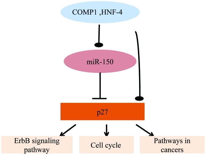 Graphical representation of the network consisting of cooperates with myogenic proteins 1 (COMP1) and hepatocyte nuclear factor-4 (HNF-4)-microRNA (miR)-150-p27, including certain important signaling pathways. Arrows indicate activation. Lines with blunt ends indicate post-transcriptional repression. Lines with an oval on the end indicate the uncertain transcription regulation of COMP1 and HNF-4 to miR-150 or p27, which may be active or supressive.