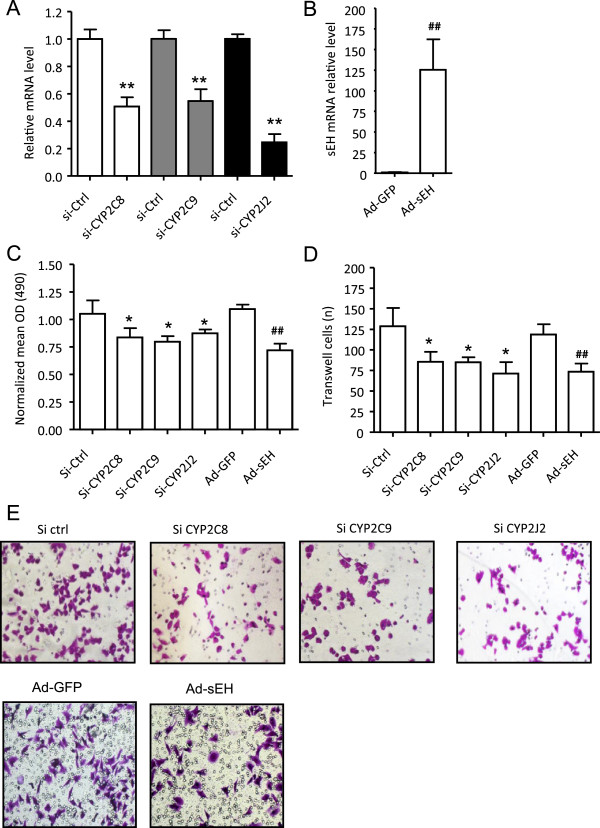 Blockage of cancer-derived EETs by siRNA targeting CYP or overexpression of sEH inhibits proliferation and migration of breast cancer cells. RT-PCR analysis of mRNA expression of CYP2C8, 2C9, and 2J2, and sEH in MDA-MB-231 cells treated with siRNA (A) or adenovirus-sEH (B) for 24 hr. (C) MTT assay of cell proliferation, expressed as the normalized mean OD 490 . (D) Transwell assay for cell migration. The number of migrated cells was measured by counting 5 randomly chosen fields under a microscope. (E) Representative transwell assay of cells stained with crystal violet (200X). Data are mean ± SD from 3 independent experiments each performed in triplicate (*P