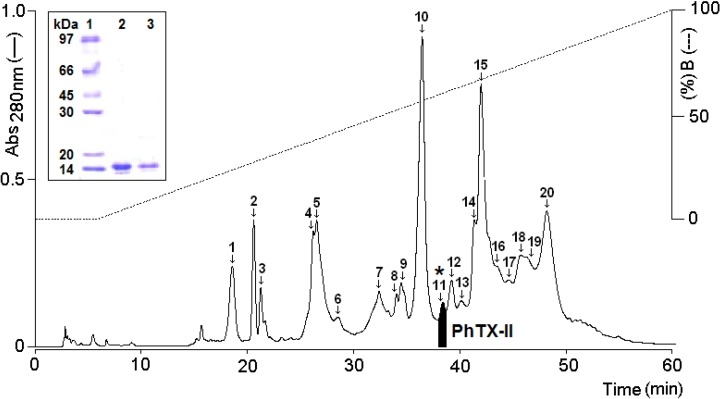 Chromatographic and electrophoretic profile of Porthidium hyoprora venom fractioning on a µ-Bondapack C18 column, monitoring elution profile at 280 nm. Emphasized in black is fraction 11 ( * ) characterized as PhTX-II PLA 2 ; Insert: Electrophoretic profile in Tricine SDS-PAGE (1) Molecular mass markers; (2) PhTX-II not reduced; (3) PhTX-II reduced with DTT (1 M).