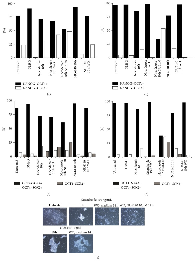 Effect of combined treatment on pluripotency markers expression in hES and hEC cells compared to treatments with nocodazole or NU6140 individually. Nocodazole treated cells (10 h) were washed and further treated with 10 μ M NU6140 for 14 h. The coexpression of NANOG/OCT4 and SOX2/OCT4 detected in hEC (a, c) as described in Figure 2 and in hES cells (b, d) as described in Figure 1 . (e) Morphological changes in colony structure of hES cells treated with NU6140 or nocodazole.
