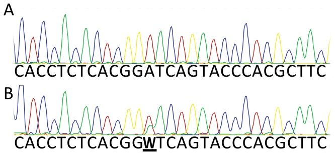 """Synthetic MEST template mixing experiments using marked templates. PCR with primers MESTPF1/MESTPR3C or MESTPF1A/MESTPR3C on the two gBlock constructs (wild-type and mutant) generated synthetic templates that were identical except for the presence of one variant base introduced with the mismatch primer MESTPF1A. Methylated and unmethylated forms of these amplicons were diluted and mixed, subjected to PCR, and then genotyped by Sanger sequencing. Products derived from the synthetic templates could be distinguished due to the presence of either an A or T at this position. (A) wild-type templates for which the """"T"""" allele was methylated, and the """"A"""" allele was unmethylated, showing apparent """"A"""" homozygosity; (B) mutant (non-G4 forming) templates for which the """"T"""" allele was methylated, and the """"A"""" allele was unmethylated, showing apparent heterozygosity (W)."""