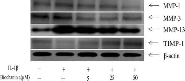 Effects of biochanin A on protein expression of MMP-1,-3, −13, and TIMP-1 in interleukin-1β (IL-1β)–induced chondrocytes. Chondrocytes were incubated for 24 hours with IL-1β or a combination of biochanin A and IL-1β. Protein levels of MMP-1, −3, −13, and TIMP-1 were determined by Western blotting. β-actin was used as a loading control in the Western blotting.