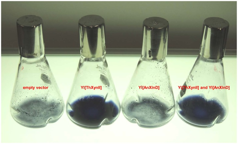 Growth of xylanase transformants in liquid medium with dyed AZCL-birchwood xylan as the carbon source. (a) Empty vector, (b) Yl[ThXynII], (c) Yl[AnXlnD], and (d) Yl[ThXynII] and Yl[AnXlnD].
