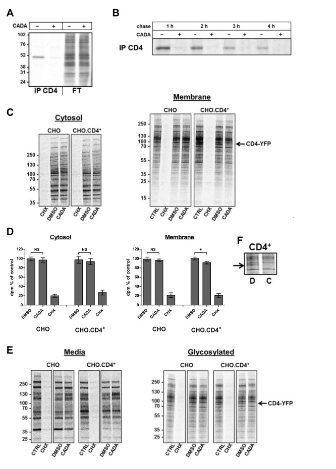CADA specifically inhibits the biogenesis of human CD4. (A, B) CADA inhibits the biosynthesis of CD4. CD4 + .CHO cells were washed and kept in methionine and cysteine-free medium in the presence or absence of 16 µM CADA for 45 min before exposure to [ 35 S]methionine/cysteine (Met/Cys) for 30 min. Pulsed-labelled cells were then washed, lysed, and analyzed directly (A) or incubated in normal medium for up to 4 h (chase) in the presence or absence of 16 µM CADA (B). At specified time points cell lysates were immunoprecipitated for CD4. The flow through fraction (FT) of the CD4-immunoprecipitated samples is also presented. Note that the weaker CD4 bands in the control samples at longer chase time points are the result of the high turnover of hCD4 in CHO cells. Molecular mass is in kDa. (C–F) CD4 negative and stably CD4-YFP transfected CHO cells were pretreated with CADA (5 µM) or DMSO for 1 h before starvation in Met/Cys free medium with CADA, DMSO, or 50 µg/ml CHX. Cells were pulsed for 30 min, washed, and incubated in fresh medium without serum for 90 min. After collection of supernatant proteins (Media) cells were first permeabilized with digitonin buffer to obtain the cytosolic cell fraction before lysis in NP-40 buffer to collect the membrane proteins. Membrane fractions were further incubated with <t>Concanavalin</t> A (ConA) agarose beads (Glycosylated). Molecular mass is in kDa. (D) Quantification of 35 S incorporation in (C) by scintillation counting ( n = 4). NS, not significant; * p