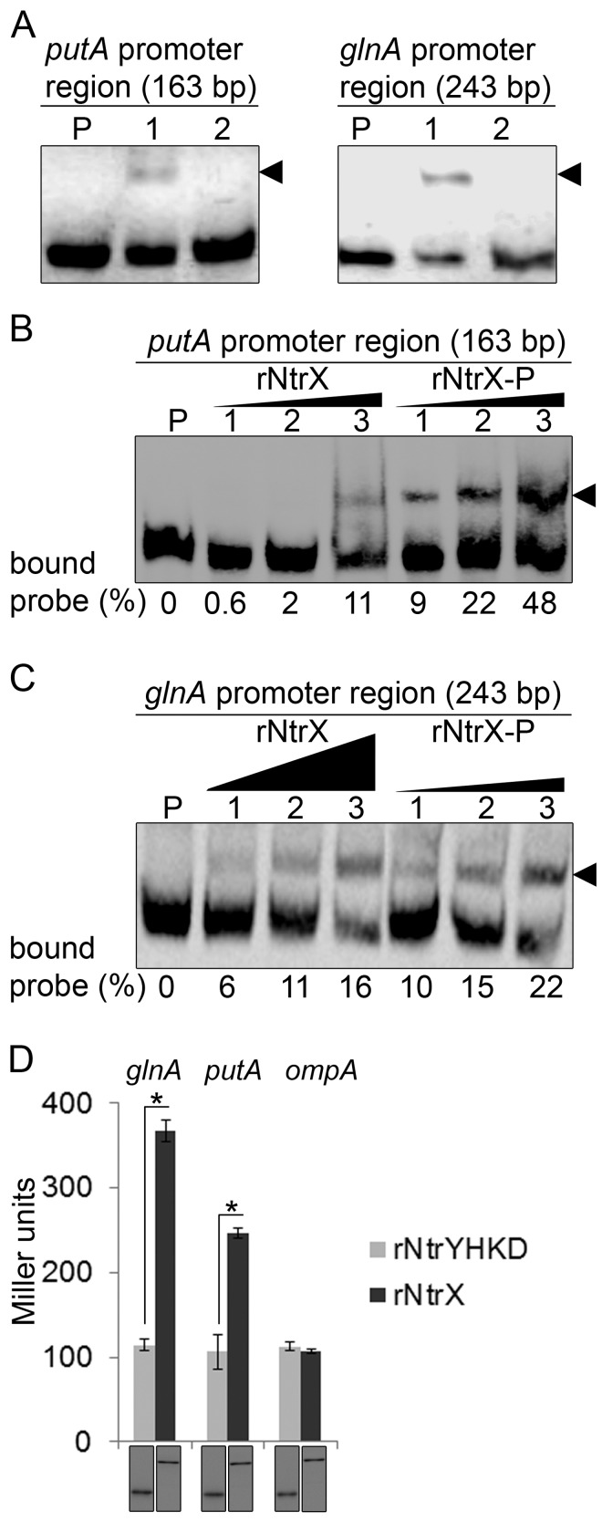 NtrX regulates putA and glnA expression. (A) EMSA for rNtrX binding to the promoter regions of putA (left) and glnA (right). The length (bp) of the probe is shown above each panel. For each panel, biotinylated DNA probe (2 nM) was incubated alone (P), with rNtrX (10 nM, lane 1), or with rNtrX in the presence of 50-fold excess of the corresponding unlabeled DNA competitor (lane 2). Shifted bands are indicated by arrowheads. (B) EMSA for dose-dependent binding of rNtrX and rNtrX-P to the putA promoter. Biotinylated DNA probe (2 nM) was incubated alone (P) or with rNtrX or rNtrX-P at different concentrations (lanes 1 to 3: 2, 4, and 8 nM, respectively). Shifted bands are indicated by an arrowhead. Black triangles show proportions of protein amounts. The numbers below the panel indicate the percentage of bound probe with respect to the total of each lane. (C) EMSA for dose-dependent binding of rNtrX and rNtrX-P to the glnA promoter. Biotinylated DNA probe (2 nM) was incubated alone (P) or with rNtrX at different concentrations (lanes 1 to 3: 6, 20, and 60 nM, respectively) or with rNtrX-P at different concentrations (lanes 1 to 3: 1.5, 5, and 15 nM, respectively). Shifted bands are indicated by an arrowhead. Black triangles show proportions of protein amounts. The numbers below the panel indicate the percentage of bound probe with respect to the total of each lane. (D) NtrX transactivates glnA and putA promoter- lacZ fusions in E. coli . E. coli strains containing pET-33b(+) encoding rNtrX and rNtrYHKD were transformed with the glnA -, putA -, or ompA-lacZ fusions containing the promoter regions of glnA (243 bp), putA (163 bp), or ompA (368 bp), respectively. After induction of rNtrX or rNtrYHKD with IPTG, β-galactosidase activity was measured. Top, β-galactosidase activity (Miller units). Data indicate the means ± standard deviations from three independent experiments performed in triplicate. *, significantly different ( P