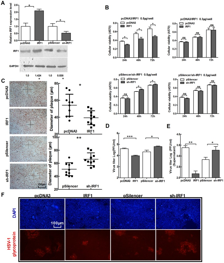 IRF1 suppresses the replication of HSV-1. (A) HeLa cells were transfected with IRF1, sh-IRF1 and control vectors, respectively. Total RNA was extracted and analyzed for IRF1 mRNA by quantitative real-time PCR. The cell lysate was extracted and analyzed for IRF1 expression by Western blot. (B) HeLa cells were transfected as indicated in (A), MTT assay of cell viability was conducted at 24 h, 48 h and 72 h post-transfection. To up-regulate IRF1, two doses of vectors were used for transfection, 0.5 µg/well and 0.3 µg/well. Another group was transfected with sh-IRF1 and its control vector in the same way. (C–F) HeLa cells were transfected as indicated in (A), 24 h post-transfection, cells were infected with HSV-1 at 0.01 PFU/cell. At 48 h post-infection, cells were stained with neutral red. The mean radius of the cytopathic area was measured. The scale bar represents 100 µm (C). Total viral yields (D) and Yield of progeny virions from the culture supernatant (E) were determined by standard plaque assays. Level of glycoprotein expression was determined by immunofluorescence assay (F). All data represent the mean value ± SD of at least three independent experiments. *: p