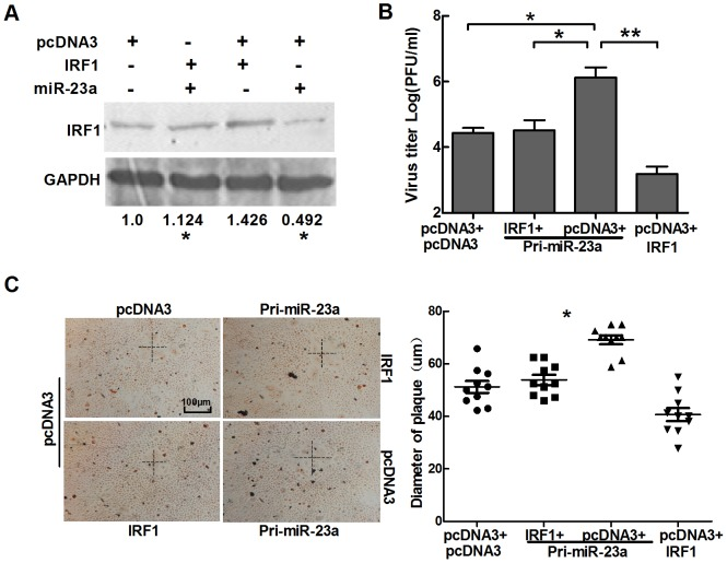 Transfection with IRF1 cDNA lacking a 3′UTR counteracts the effects of miR-23a on HSV-1 replication. (A) HeLa cells were co-transfected with two of pcDNA3, Pri-miR-23a and IRF1. At 72 h post-transfection, Western blot was used to detect the expression level of IRF1. (B) and (C), HeLa cells were transfected with either IRF1 or control vector, along with Pri-miR-23a or control vector, as indicated. At 24 h post-transfection, cells were infected with HSV-1 at 0.01 PFU/cell. Plaques were stained with neutral red, and viral yields were determined by standard plaque assays. Scale bar represents 100 µm. All data represent the mean value ± SD of at least three independent experiments. * p