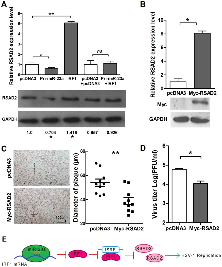 IRF1 suppresses the replication of HSV-1 partially by up-regulation of RSAD2. (A) HeLa cells were transfected with IRF1 and pcDNA3 or co-transfected with IRF1 and Pri-miR-23a and control vector, as indicated. Total RNA was extracted, and RSAD2 mRNA was quantified by quantitative real-time PCR. (B) HeLa cells were transfected with Myc-RSAD2. At 48-h post-transfection, quantitative real-time PCR was used to detect the level of RSAD2 mRNA, and at 72 h post-transfection, a Western blot was used to detect the expression level of RSAD2. (C) HeLa cells were transfected with Myc-RSAD2 or pcDNA3. Cells were infected with HSV-1 at 0.01 PFU/cell and stained with neutral red at 36 h post-infection. The mean radius of the cytopathic area was measured. The scale bar represents 100 µm. (D) HeLa cells were transfected with Myc-RSAD2 or pcDNA3. Viral yields were determined by standard plaque assays at 48 h post-infection with HSV-1. (E) Model of miR-23a regulation in HSV-1 replication. Increased levels of miR-23a in HeLa cells led to decrease levels of IRF1 mRNA and RSAD2 mRNA, with a consequent increase in HSV-1 replication. All data represent the mean value ± SD of at least three independent experiments. *: p