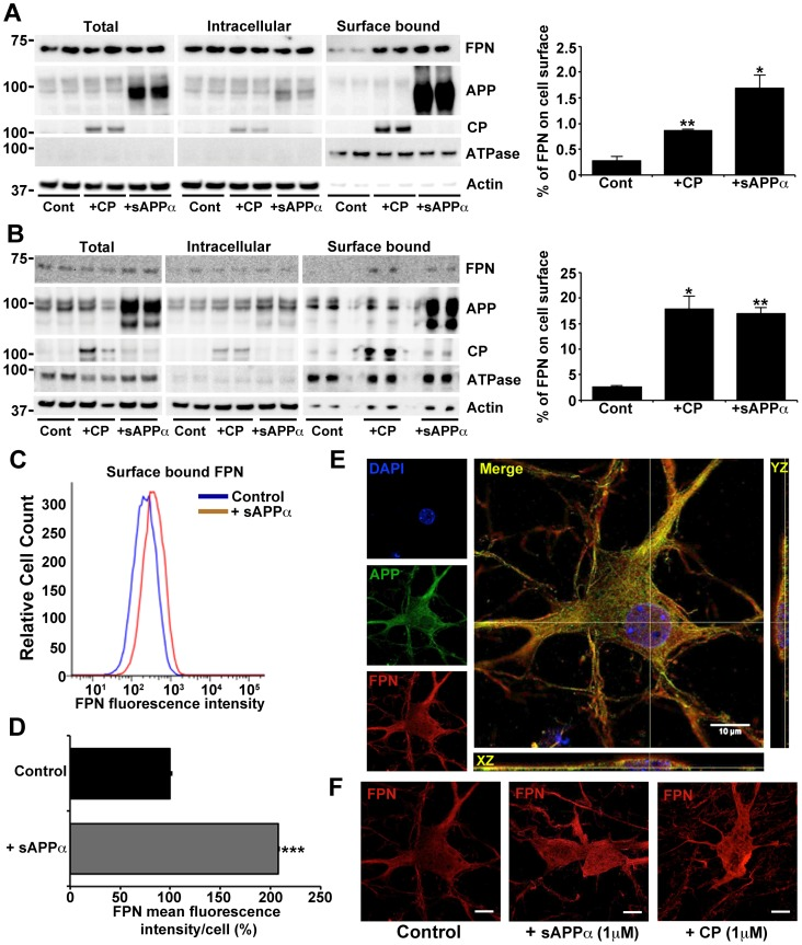 Extracellular sAPPα or CP increases cellular expression of surface ferroportin. FPN location was examined in ( A ) HEK293T and ( B - D ) primary murine neuronal cultures, preincubated with iron (50 µM, 3 h) followed with CP or sAPPα (1 µM, 30 min). Both cell lines have been previously shown to utilize APP to promote iron efflux, and do not express CP [2] , [14] . Surface proteins on ( A ) HEK293T cells, and ( B ) primary neurons, were biotinylated to identify changes to endogenous FPN and APP expression on the cell surface, as well as exogenously attached sAPPα or CP. Surface levels of FPN were significantly increased in the presence of CP or sAPPα, despite total levels of FPN remaining unchanged. The graphs show the distribution of FPN when normalized against the β-actin content of the intracellular+surface fractions, and adjusted for protein load. Similar results for FPN distribution were achieved even without adjusting for β-actin (not shown). ( C ) Fluorescence-activated cell sorting of non-permeabilized N2a neuroblastoma cultures preincubated with iron (50 µM, 6 h) confirms an increase in surface expression of FPN, quantified in ( D ), after a 30 min incubation with sAPPα (1 µM) in OptiMEM. ( E ) Deconvoluted confocal microscopy shows overlap of endogenous APP and FPN at the surface of non-permeabilized primary neurons preincubated with iron (50 µM, 3 h), as well as ( F ) increased FPN on the neuronal surface following further treatment with CP or sAPPα (1 µM, 30 min). Endogenous surface FPN was below detection limits in neurons that were not treated with FAS (not shown). Data in ( A ), ( B ) ( D ) are means ± S.E. of 3 experiments, performed in duplicate. * p
