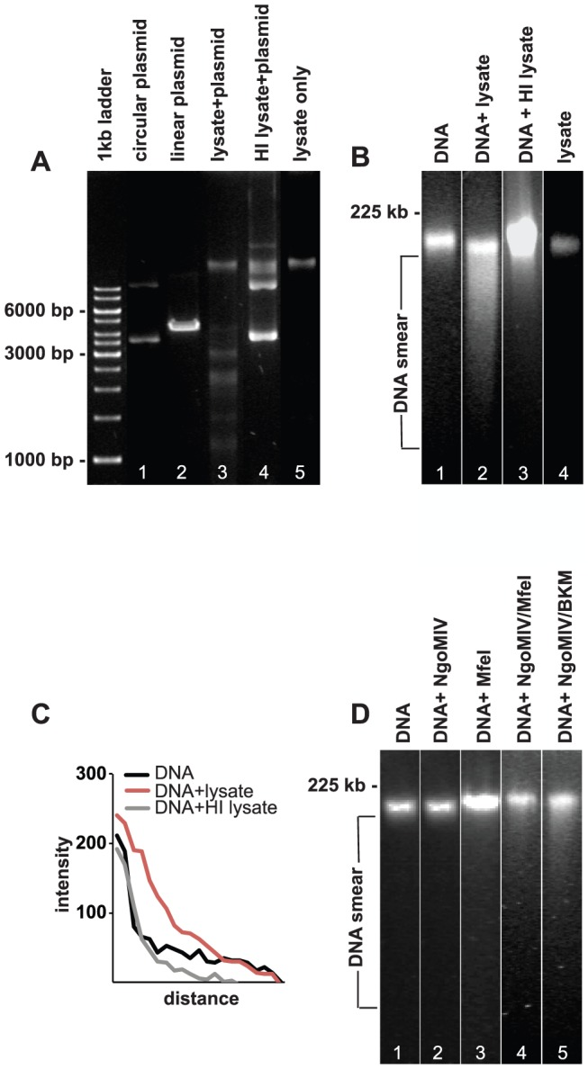 Lysates of N. gonorrhoeae fragments pECFP-N1 and damage DNA from VK2/E6E7 cells. A. DNA agarose gel showing the digestion of pECFP-N1 plasmid by HindIII (positive control, lane 2), MS11 P+ lysate (lane 3), and MS11 P+ HI lysate (lane 5). Lane 5 shows bacterial MS11 P+ lysate without pECFP-N1 and lane 1 shows uncut circular pECFP-N1. B. PFGE analysis of purified VK2/E6E7 genomic DNA treated for 24 h with: lane 1: PBS (negative control), lane 2: MS11 P+ lysate, lane 3: MS11 P+ HI lysate. Lane 4 shows bacterial MS11 P+ lysate without VK2/E6E7 genomic DNA. C. Graph showing quantification of DNA smears (measured directly underneath and below the band). Shown are smear pixel intensities of cellular DNA alone and cellular DNA exposed to bacterial lysates and HI bacterial lysates. D. PFGE showing genomic DNA subjected to commercial restriction enzymes for 24 h. Lane 1: DNA incubated with CutSmart reaction buffer (negative control). Lane 2: DNA incubated with NgoMIV. Lane 3: DNA incubated with MfeI, Lane 4: DNA incubated with NgoMIV and MfeI Lane 5: DNA incubated with NgoMIV and BamHI/KpnI/MfeI (BKM).