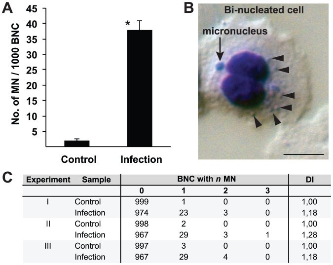Bacterial infection induces micronuclei formation in VK2/E6E7 cells. VK2/E6E7 cells were infected with N. gonorrhoeae for 24 h. Cytokinesis was blocked with cytochalasin B for 36 h and BNC from infected and control cells were analyzed for micronuclei formation. A. Average numbers of observed micronuclei/1000 BNC ± standard deviation from 3 independent experiments are shown (* p