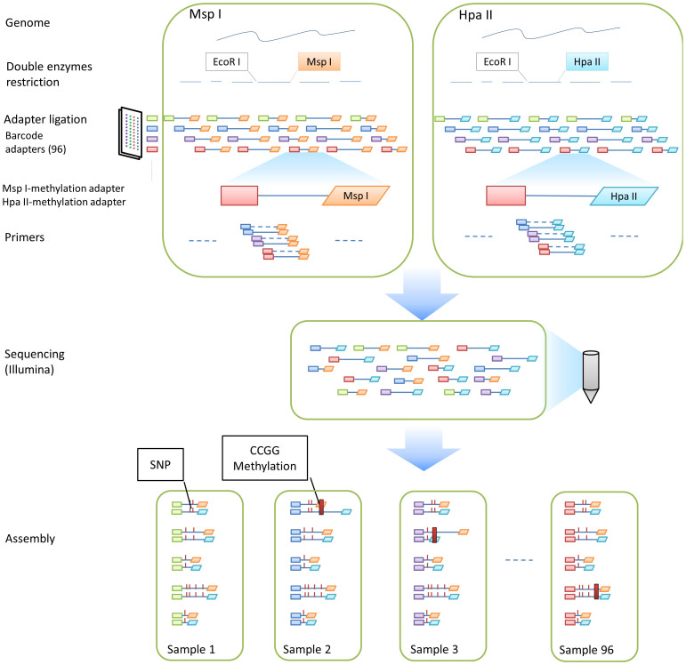 Preparation and sequencing of AFSM tags. Sample preparation for AFSM genotyping is accomplished by combining two restriction enzyme pairs (EcoRI-MspI and EcoRI-HpaII) to digest genomic DNA and incorporating barcodes for multiplex sequencing. EcoRI is used as a rare cutter, and the methylation-retraction enzymes HpaII and MspI are employed as frequent cutters. HpaII and MspI have different sensitivities to methylation of the inner or outer cytosines and can produce different products, reflecting the different methylation states of the cytosines.