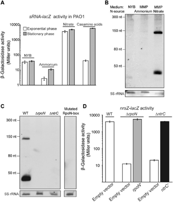 The sRNA NrsZ of P. aeruginosa PAO1 is induced during nitrogen limitation by the NtrB/C-RpoN cascade. A. β-Galactosidase activities of the chromosomal reporter fusion sRNA-lacZ ( nrsZ-lacZ ) under various nitrogen-limited conditions. The PAO1 WT strain carrying nrsZ-lacZ (PAO6750) was grown in NYB, MMP supplemented with glucose as carbon source and ammonia, nitrate or casamino acids (0.1%) as nitrogen source. Activity of the nrsZ-lacZ chromosomal fusion was measured in exponential phase and when stationary phase was reached. Each value represents the average of triplicate cultures ± standard deviation. B. Northern blot detection of the sRNA: RNA was isolated from PAO1 (WT) grown to stationary phase in NYB, MMP supplemented with succinate as carbon source and ammonium or nitrate as nitrogen source. 7.5 μg of cross-linked total RNA was hybridized with the ssRNA probe NrsRNA . As loading control, the membrane was re-probed with the 5SDNA , which detects 5S rRNA. C. Northern blot detection of the sRNA: Total RNA was extracted from strains PAO1 WT, Δ rpoN (PAO6358), Δ ntrC (PAO6764), and from the strain mutated in the RpoN box of the sRNA promoter (PAO6846) grown to stationary phase in MMP supplemented with glucose and casamino acids (0.1%). 5 μg of cross-linked total RNA was hybridized with the ssRNA probe NrsRNA . As loading control, the membranes were re-probed with the 5SDNA detecting the 5S rRNA. D.β-Galactosidase activities of the chromosomal reporter fusion nrsZ-lacZ in different strains. The WT (PAO6750), Δ rpoN (PAO6847) and Δ ntrC (PAO6842) strains carrying the pME6001 empty vector, the strain Δ rpoN complemented with rpoN + (pME6001:: rpoN , pME10389) and the strain ΔntrC complemented with ntrC + (pME6001:: ntrC , pME10390) were grown in MMP supplemented with glucose and casamino acids (0.1%). nrsZ-lacZ activity was measured when stationary phase was reached. Each value represents the average of triplicate cultures ± standard deviation.