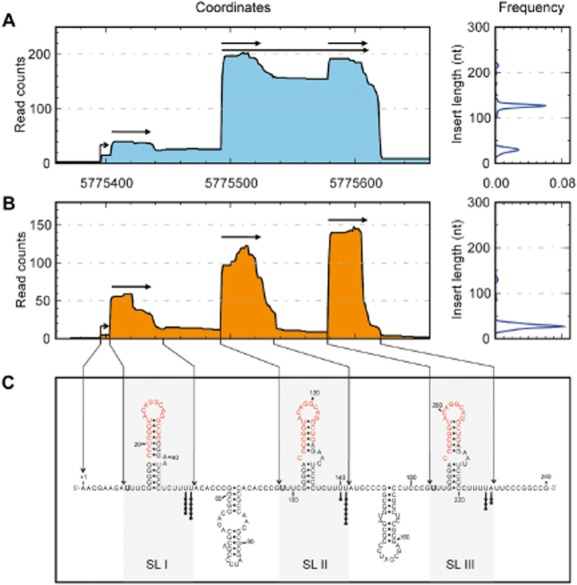 NrsZ is processed in three small forms. The RNA deep sequencing profile of NrsZ was determined from RNA extracted from PAO1 grown in minimum medium supplemented with nitrate and fractioned in two parts, (A, left panel) the medium fraction ranging from 150 nt to 450 nt, and (B, left panel) the small fraction ranging from 30 nt to 200 nt. (A and B, right panels): insert length distributions of the transcripts corresponding to NrsZ in both fractions. Base numbering starts from the +1 transcription start site represented by a bent arrow, and horizontal arrows underline the major transcripts positions and sizes. (C) Predicted secondary structure of the NrsZ primary transcript. Each black dot represents one 3′ extremity of NrsZ obtained by 3′ RACE experiment. 5′-matured terminal nucleotides determined by RNA deep sequencing are indicated in bold. Conserved motifs in the stem-loop sequences are shown in red. SL: stem-loop structure. The M fold program was used to predict RNA secondary structures ( Zuker, 2003 ).