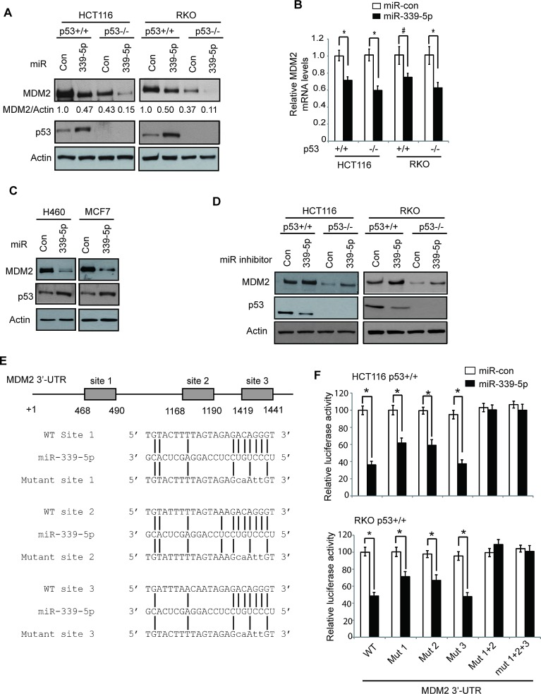 MiR-339-5p negatively regulates MDM2 levels in human colorectal cells through binding to human MDM2 3′-UTR (A) MiR-339-5p decreased MDM2 protein levels and increased p53 protein levels in human colorectal cancer HCT116 and RKO cells. HCT116 p53+/+, HCT116 p53−/−, RKO p53+/+ and RKO p53−/− cells were transfected with miR-339-5p mimic or scrambled miRNA control (miR-con), and the MDM2 and p53 protein levels were measured at 24 h after transfection by western-blot assays. (B) MiR-339-5p decreased MDM2 mRNA levels in HCT116 and RKO cells. The MDM2 mRNA levels were measured by Taqman real-time PCR in cells transfected with miR-339-5p mimic or miR-con, and normalized with actin. The levels of the MDM2 mRNA in control cells transfected with miR-con were designated as 1. Data are presented as mean ± SD (n=3). #: p