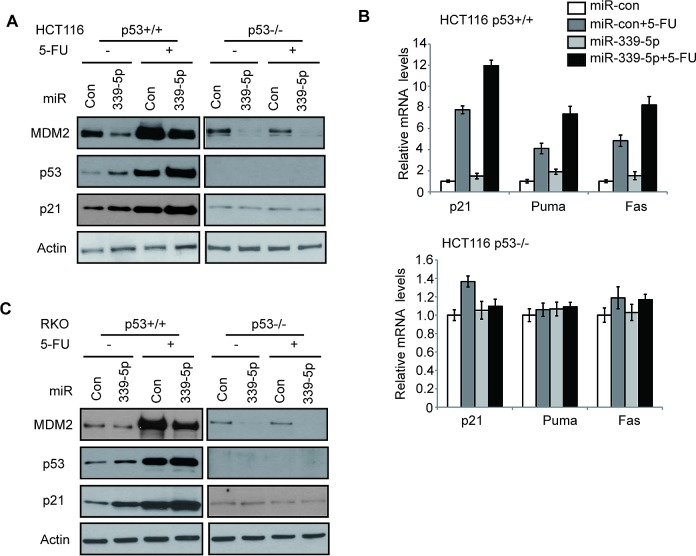 MiR-339-5p increases <t>p53</t> protein accumulation and its transcriptional activity in response to stress by negatively regulating MDM2 in human colorectal cancer cells (A) MiR-339-5p decreased MDM2 protein levels and increased the p53 protein accumulation and transcriptional activity toward p21 in response to stress in <t>HCT116</t> cells. (B) MiR-339-5p increased the p53 transcriptional activity toward p21, Puma and Fas in response to stress in HCT116 cells. In A and B: HCT116 p53+/+ and p53−/− cells were transfected with miR-339-5p mimic or miR-con. At 24 h after transfection, cells were treated with 5-FU (50 μM) for 8 h, and analyzed by western-blot (A) and Taqman real-time PCR (B), respectively. The mRNA levels of all genes were normalized to actin. The mRNA levels of genes in untreated cells transfected with miR-con were designated as 1. Data are presented as mean ± SD (n=3). (C) MiR-339-5p decreased MDM2 protein levels and increased p53, p21 protein levels in response to stress in RKO cells. RKO p53+/+ and RKO p53−/− cells were treated with 5-FU and analyzed as described in A.