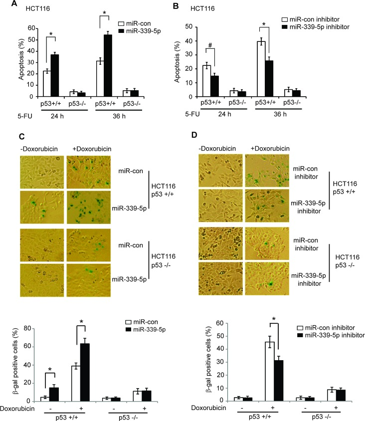 MiR-339-5p enhances p53-mediated apoptosis and senescence in response to stress (A) MiR-339-5p enhanced p53-mediated apoptosis in HCT116 cells treated with 5-FU. HCT116 p53+/+ and p53−/− cells transfected with miR-339-5p mimic or miR-con were treated with 5-FU (300 μM), and apoptosis were measured by Annexin V staining in a flow cytometer at 24 or 36 h after treatment. (B) The miR-339-5p inhibitor reduced p53-mediated apoptosis in HCT116 cells treated with 5-FU. HCT116 p53+/+ and p53−/− cells transfected with the miR-339-5p inhibitor or miR-con inhibitor were treated with 5-FU and analyzed as described in A. (C) MiR-339-5p enhanced p53-mediated senescence in HCT116 cells treated with Doxorubicin. HCT116 p53+/+ and p53−/− cells transfected with miR-339-5p mimic or miR-con were treated with 100 nM Doxorubicin for 3 days before cellular senescence was measured by SA-β-gal staining. (D) The miR-339-5p inhibitor reduced p53-mediated senescence in HCT116 cells treated with Doxorubicin. HCT116 p53+/+ and p53−/− cells transfected with the miR-339-5p inhibitor or miR-con inhibitor were treated with Doxorubicin and analyzed as described in C. In C and D: The upper panels are represented images of SA-β-gal staining. In A-D: Data are presented as mean ± SD (n = 3). #: p