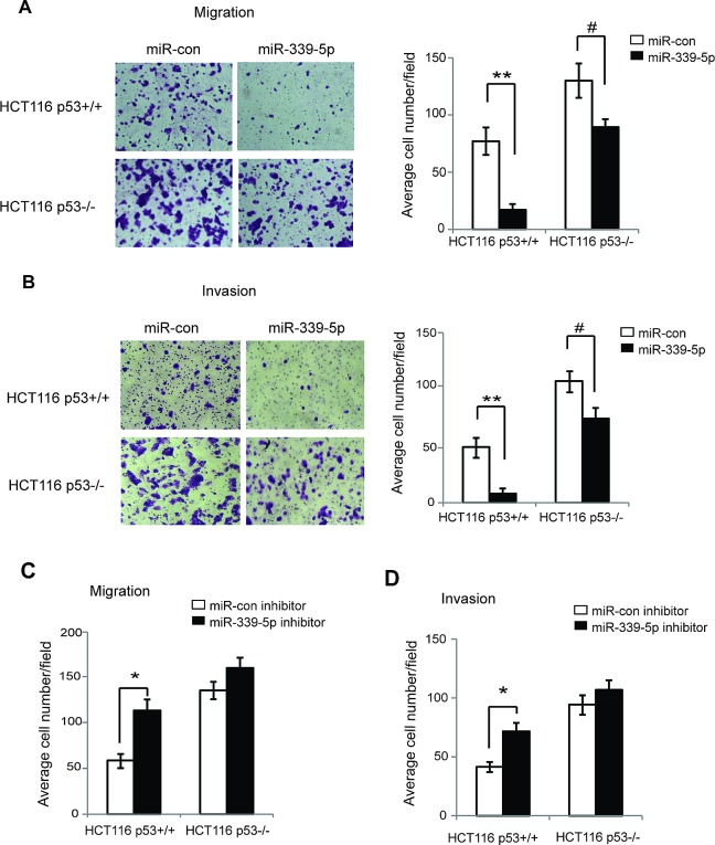 MiR-339-5p inhibits the migration and invasion of colorectal cancer cells in a largely p53-dependent manner (A) MiR-339-5p inhibited the migration of colorectal cancer cells in a largely p53-dependent manner. HCT116 p53+/+ and p53−/− cells transfected with miR-339-5p mimic or miR-con were seeded into chambers for migration assays. Left panels: Representative images of migrated cells; Right panel: Quantifications of average number of migrated cells per field. (B) MiR-339-5p inhibited the invasion of colorectal cancer cells in a largely p53-dependent manner. HCT116 p53+/+ and p53−/− cells transfected with miR-339-5p mimic or miR-con were seeded into matrigel-coated chambers for invasion assays. Left panels: Representative images of invading cells; Right panel: Quantifications of average number of invading cells per field. (C, D) The miR-339-5p inhibitor promoted the migration (C) and invasion (D) of colorectal cancer cells in a largely p53-dependent manner. HCT116 p53+/+ and p53−/− cells transfected with miR-339-5p inhibitor or miR-con inhibitor were used for migration and invasion assays as described in A and B, respectively. Data are presented as mean ± SD (n=3). #: p