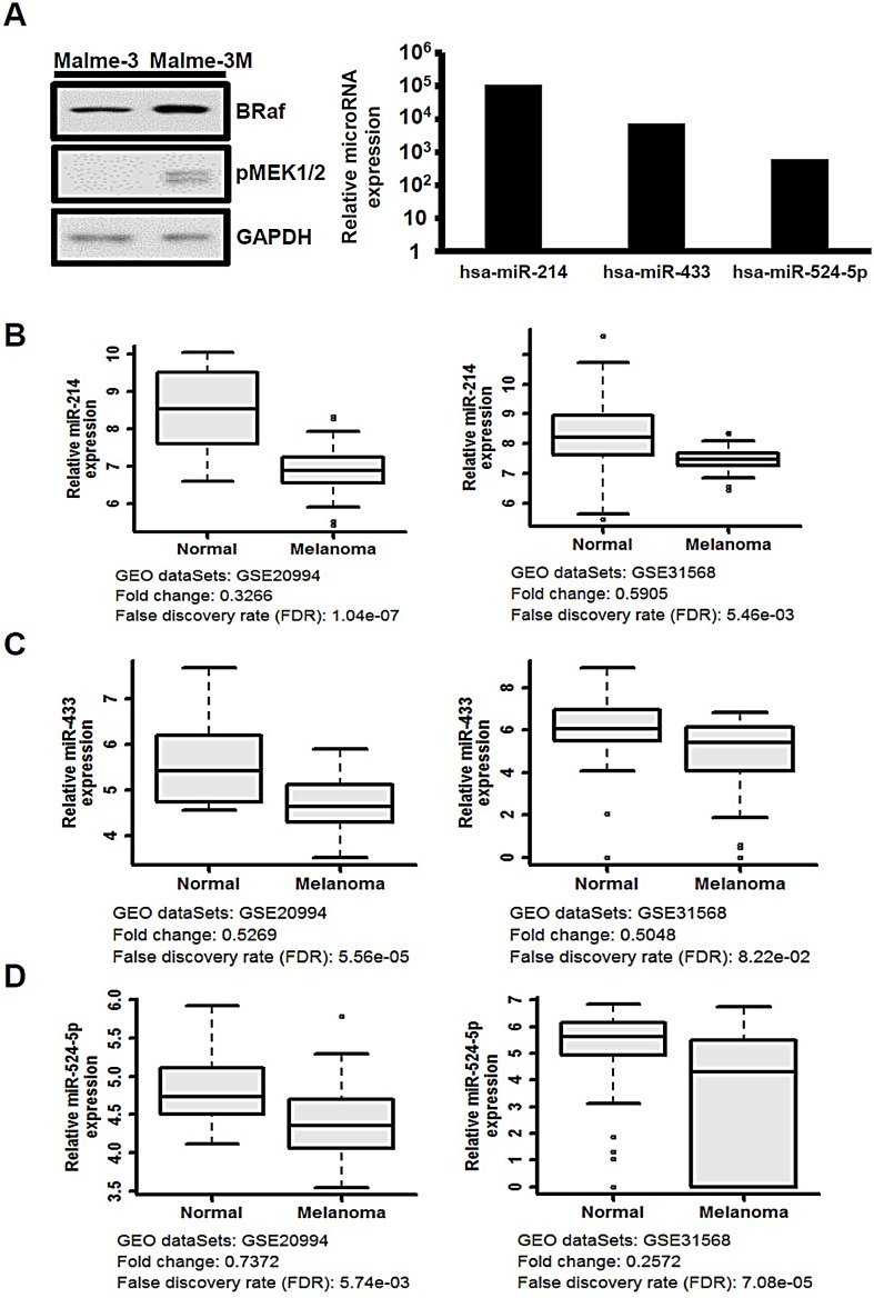 The expression of miR-214, miR-433, and miR-524-5p is suppressed in melanoma (A) Left panel, MAPK/ERK signaling was highly activated in the Malme-3M cell line according to Western analysis to detect the protein levels of BRAF and phospho-MEK. Right panel, the relative expression levels of miR-214, miR-433, and miR-524-5p were detected by the TaqMan miRNA expression array (normalized to RNU44 and RNU48) with the ratio of Malme-3 to Malme-3M. (B-D) Box-whisker plots of miR-214, miR-433, and miR-524-5p in melanoma samples. The miRNA expression profiles were obtained from the Gene Expression Omnibus (GEO) accession numbers GSE20994 and GSE31568. We downloaded raw data and used statistical analysis to obtain the mean and FDR values. The fold change was evaluated from the mean of melanoma samples versus normal.