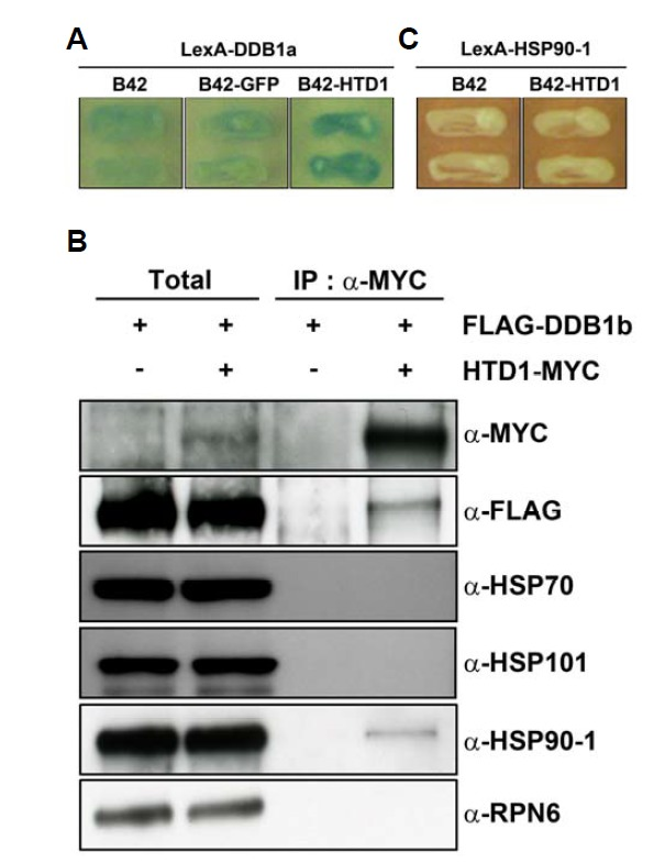 Interaction patterns of various proteins with HTD1. (A) Direct interaction between HTD1 and the adaptor of the CRL4 complex based on yeast two-hybrid assays. Assays were performed with HTD1 protein as prey and DDB1a as bait to check their interactions. Empty vector (B42) and GFP proteins (B42-GFP) were used as negative controls. (B) Co-immunoprecipitation (Co-IP) assay of HTD1 with DDB1b and various HSP proteins. Transgenic plants overexpressing FLAG-DDB1b or FLAG-DDB1b/HTD1-MYC were used for these assays. The immunoblot used anti-RPN6 as a loading control. Total, 5% of the crude extracts used for Co-IP assays. (C) Interaction pattern between HTD1 and HSP90-1 in yeast two hybrid assay.